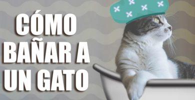 Como baño a mi gato