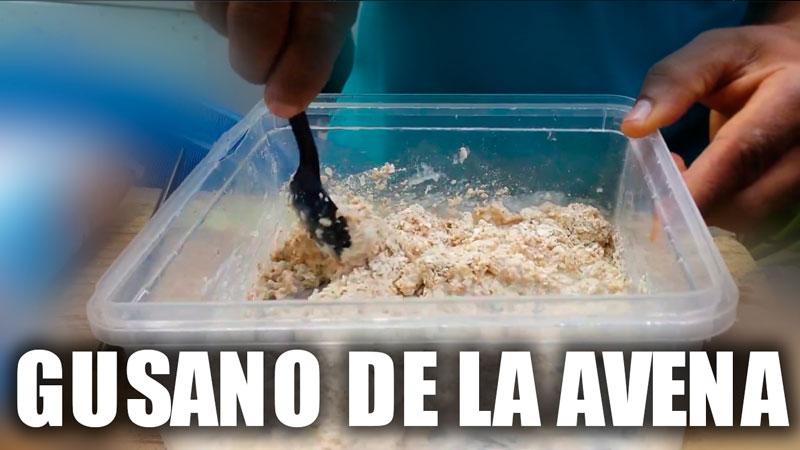 cEPA GUSANO DE LA AVENA