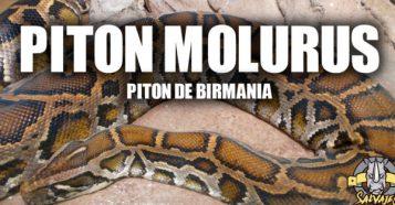Piton Molurus
