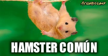 Hamster común