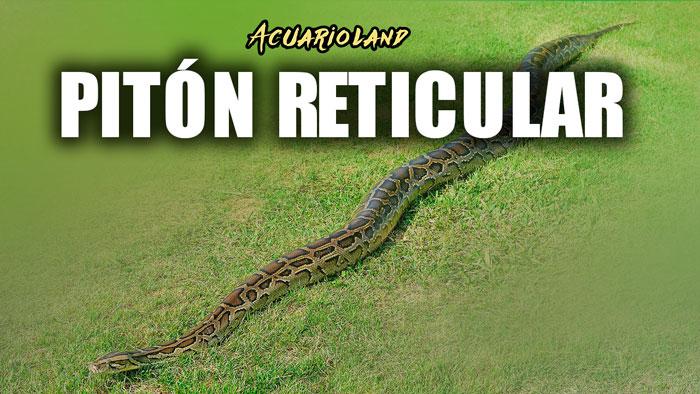 piton reticular