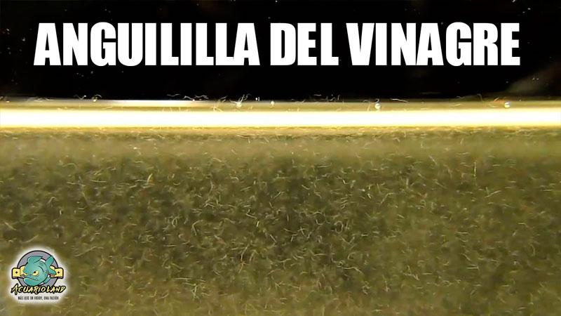 Anguilla dle vinagre