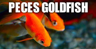 Cuidados peces goldfish