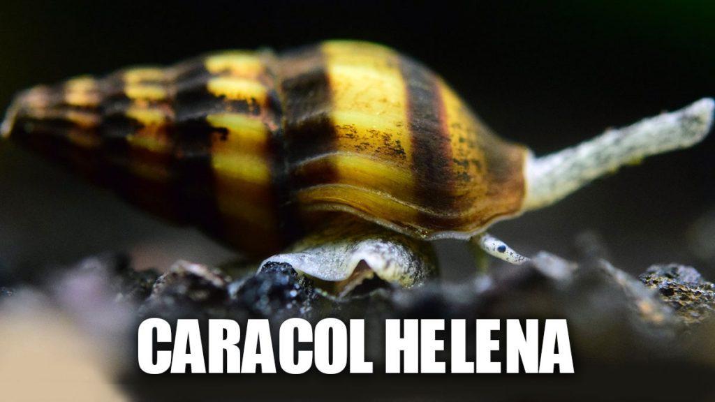 Cuidados Caracol helena o asesino